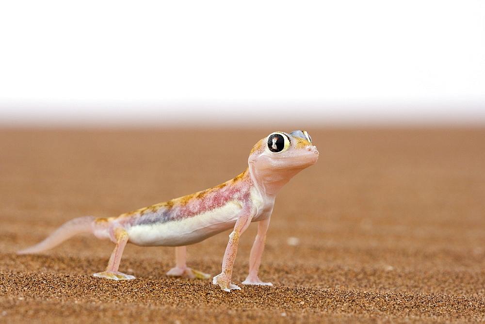 Webfooted gecko (Palmatogecko rangei), Namib Desert, Namibia, Africa - 748-924