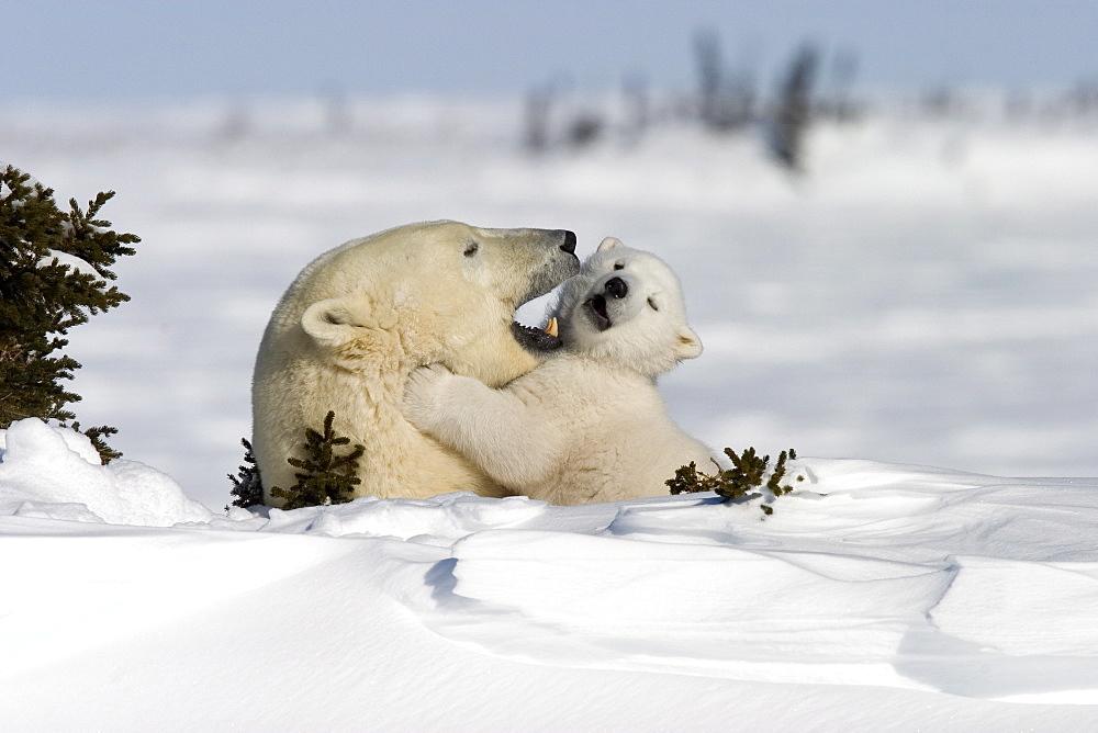 Polar Bear with a cub, (Ursus maritimus), Churchill, Manitoba, Canada - 748-94