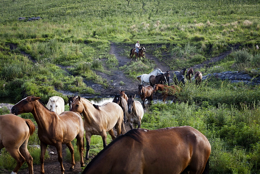 Gaucho with horses at Estancia Los Potreros, Cordoba Province, Argentina, South America