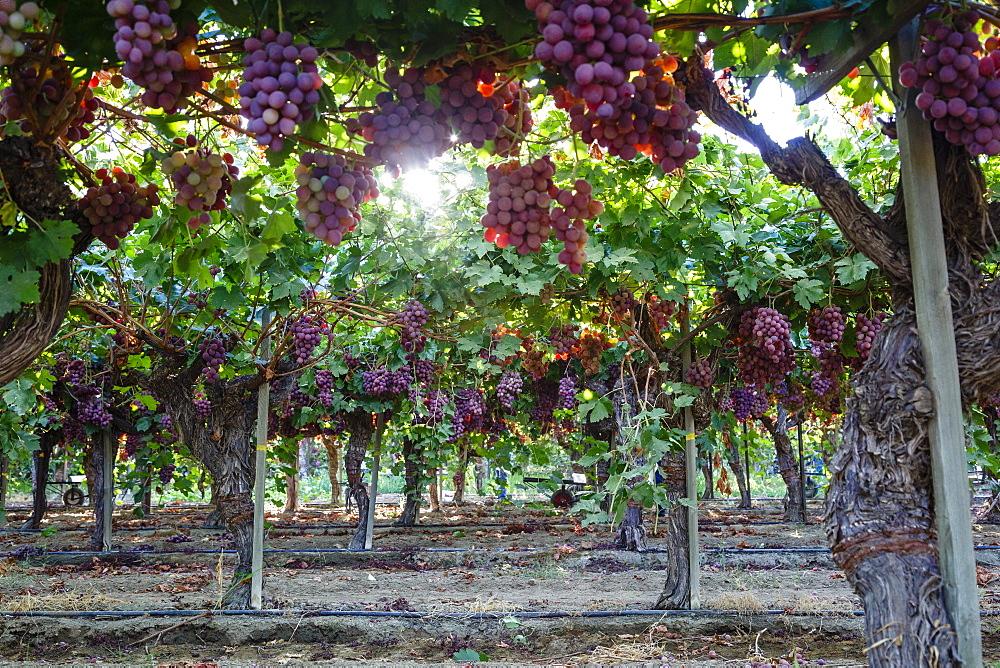Red Globe grapes at a vineyard, San Joaquin Valley, California, United States of America, North America