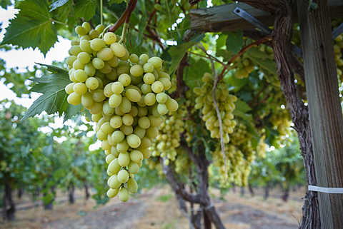 Grape at a vineyard in San Joaquin Valley, California, United States of America, North America