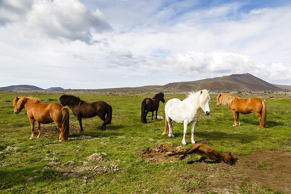 Wild horses, Reykjanes Peninsula, Iceland, Polar Regions