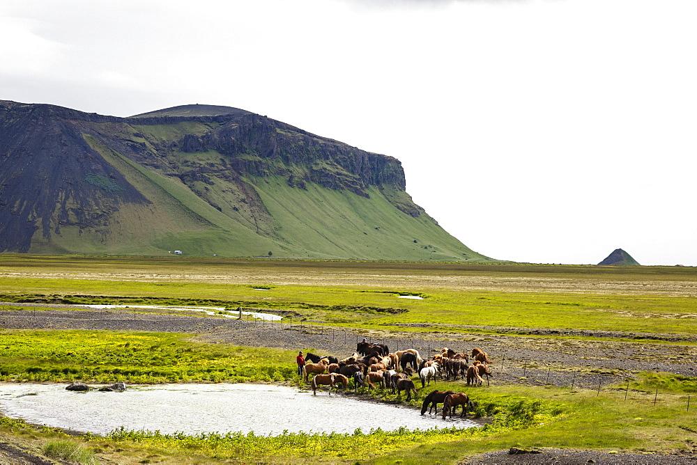 Wild horses, South Iceland, Iceland, Polar Regions