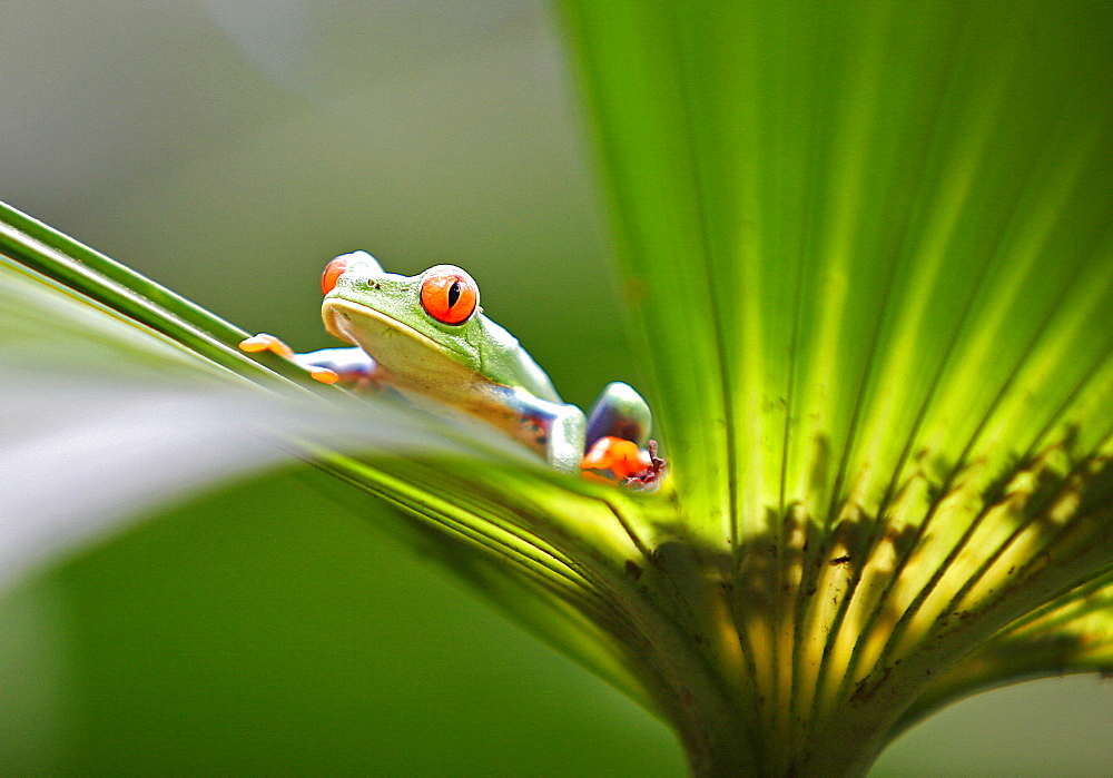 Red eyed tree frog (Agalychnis callidryas), Costa Rica, Central America - 749-882