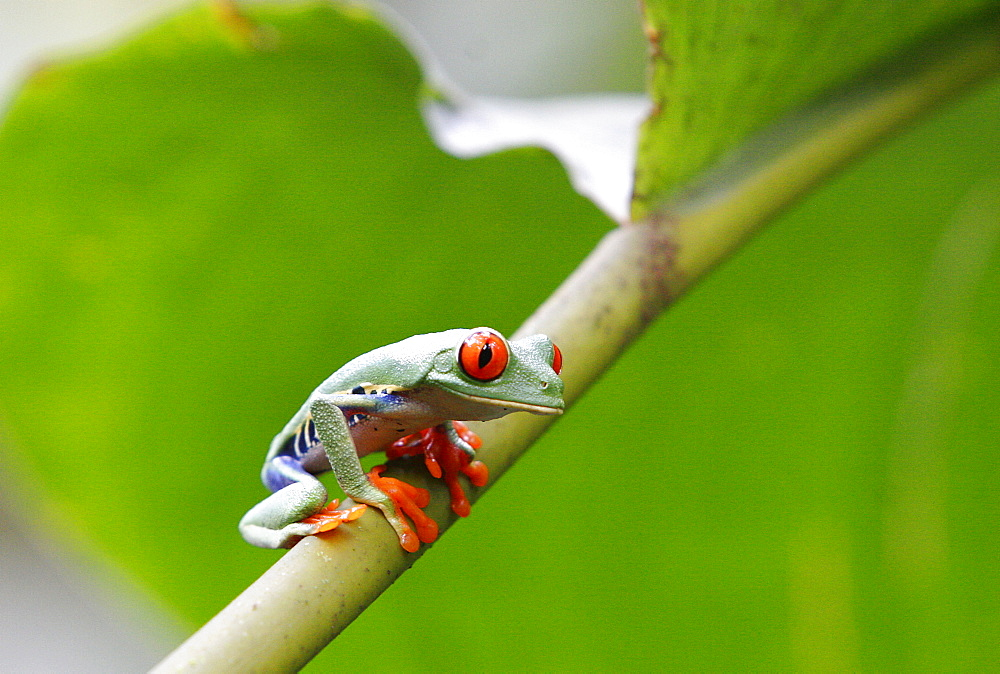 Red eyed tree frog (Agalychnis callidryas), Costa Rica, Central America