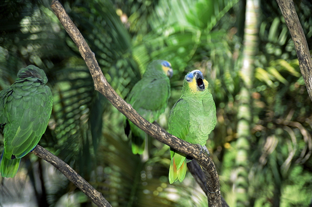 Parrots as house pets at local restaurant, Caripe, Venezuela, South America