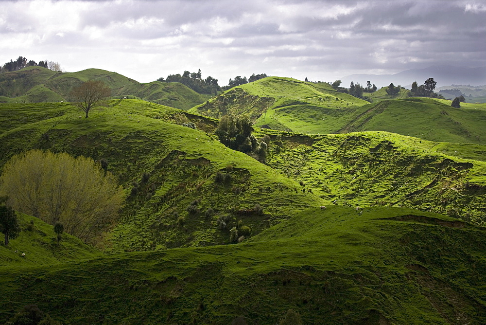 Sheep pasture in rural Manawatu, North Island, New Zealand, Pacific