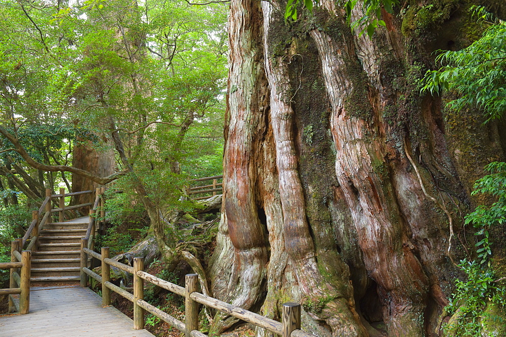 Kigensugi Giant Sugi Cedar tree, estimated to be 3000 years old, Yaku-shima (Yaku Island), Kyushu, Japan, Asia