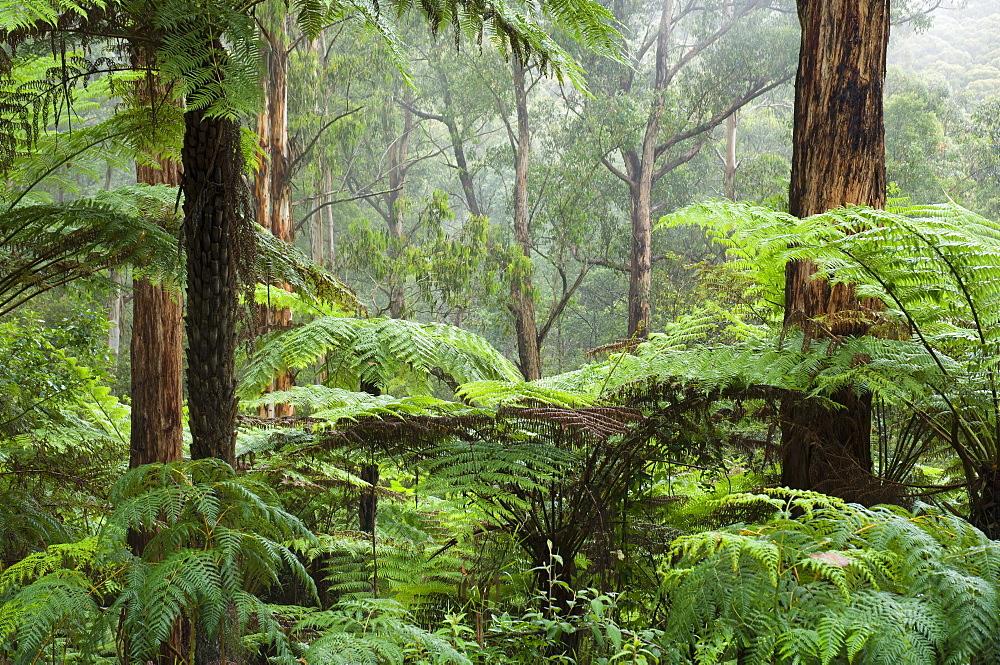 Rainforest, Bunyip State Park, Victoria, Australia, Pacific