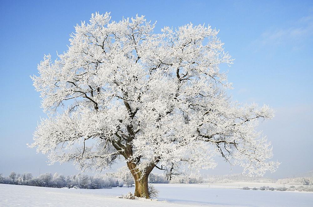 Oak tree, near Villingen-Schwenningen, Black Forest-Baar (Schwarzwald-Baar) district, Baden-Wurttemberg, Germany, Europe