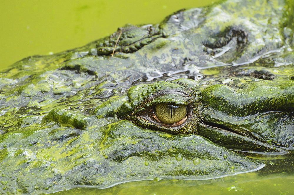 Saltwater (estuarine) crocodile (Crocodylus porosus), Sarawak, Borneo, Malaysia, Southeast Asia, Asia - 756-1870