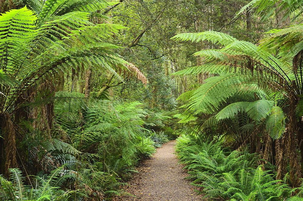 Footpath through Temperate Rainforest, Strahan, Tasmania, Australia, Pacific
