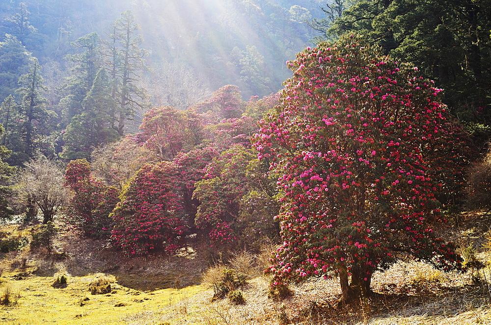 Rhododendron forest, near Titi, Annapurna Conservation Area, Dhawalagiri (Dhaulagiri), Western Region (Pashchimanchal), Nepal, Asia