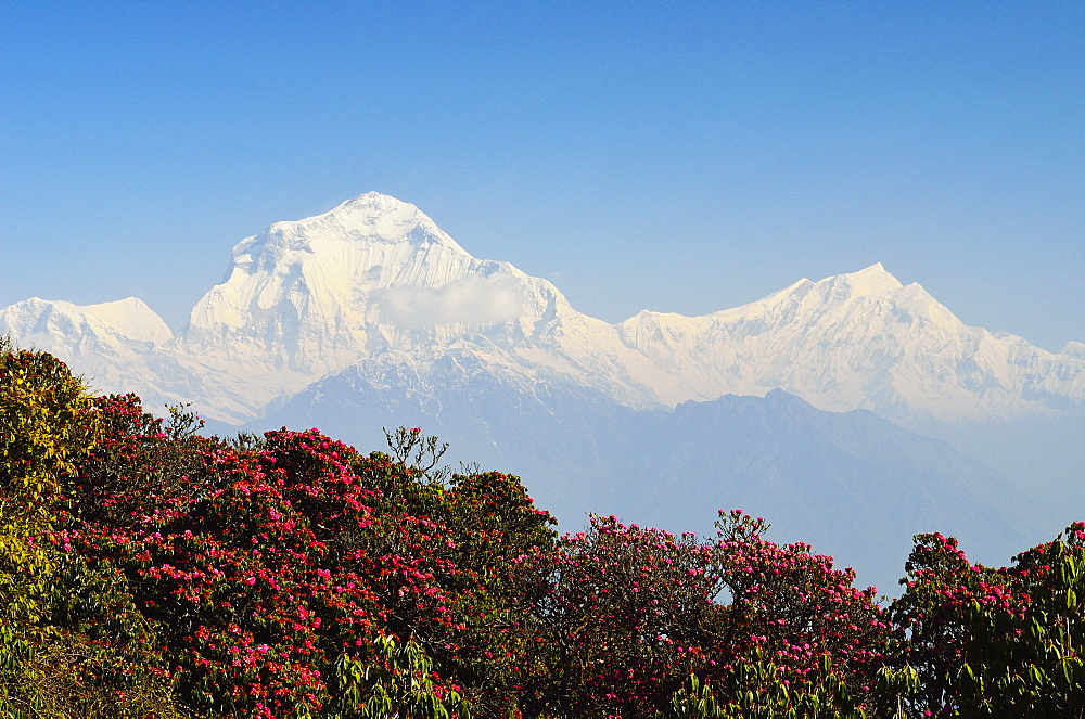 Rhododendron and Dhaulagiri Himal seen from Poon Hill, Annapurna Conservation Area, Dhawalagiri (Dhaulagiri), Western Region (Pashchimanchal), Nepal, Himalayas, Asia