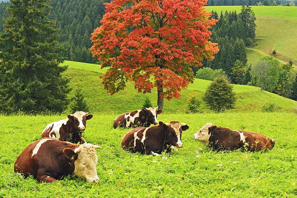 Bulls on pasture and maple tree, Black Forest, Schwarzwald-Baar, Baden-Wurttemberg, Germany, Europe