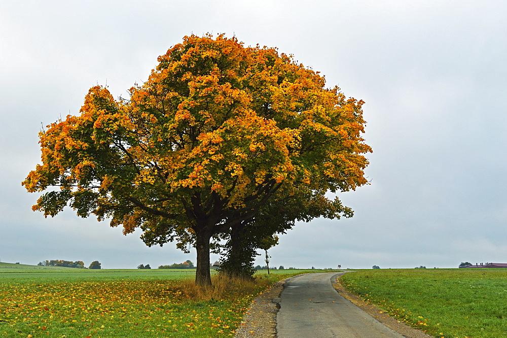 Maple tree with autumn colors, near Villingen-Schwenningen, Black Forest, Schwarzwald-Baar, Baden-Wurttemberg, Germany, Europe