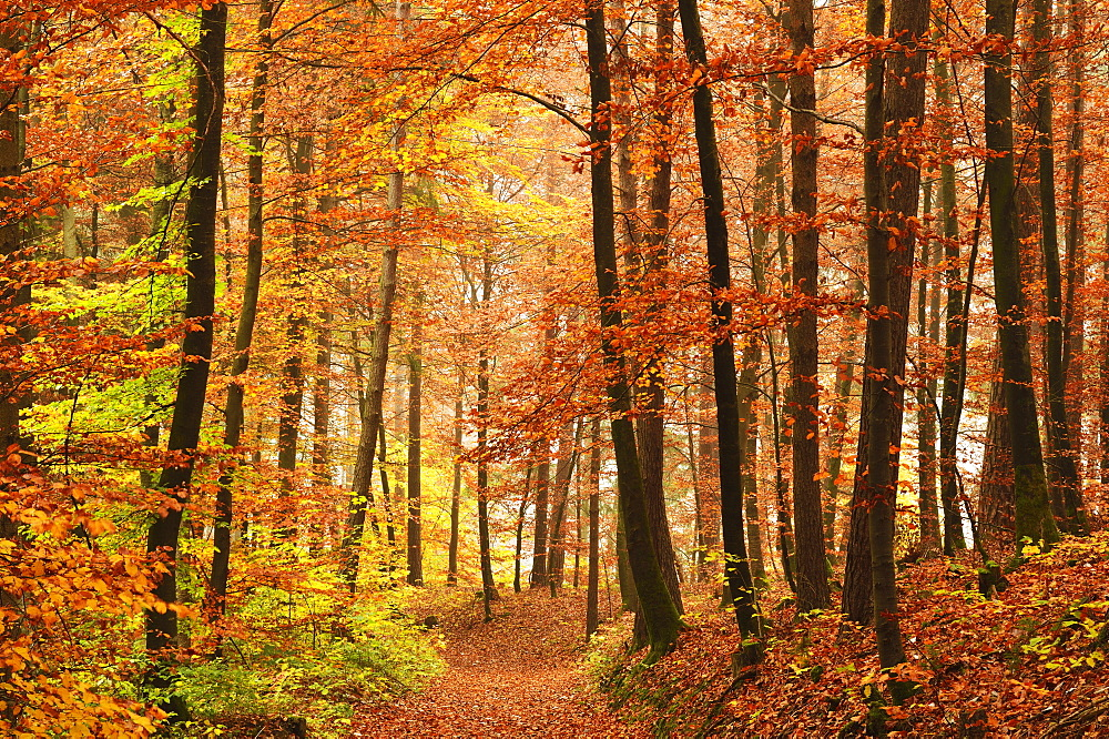 Autumn forest in the Neckar valley, near Villingen-Schwenningen, Baden-Wurttemberg, Germany, Europe - 756-2418