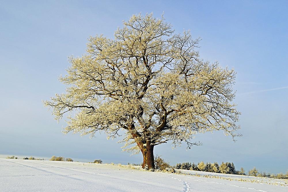 Oak tree with hoar frost, near Villingen-Schwenningen, Schwarzwald-Baar, Baden-Wurttemberg, Germany, Europe