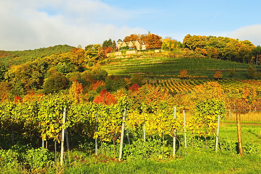 Kropsburg castle and vineyard landscape, near St. Martin, German Wine Route, Rhineland-Palatinate, Germany, Europe