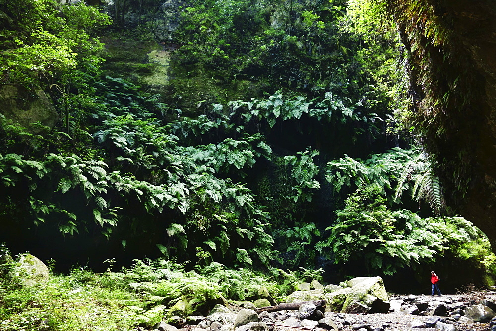 Laurel forest, Los Tilos Biosphere Reserve, La Palma, Canary Islands, Spain, Europe - 756-2804