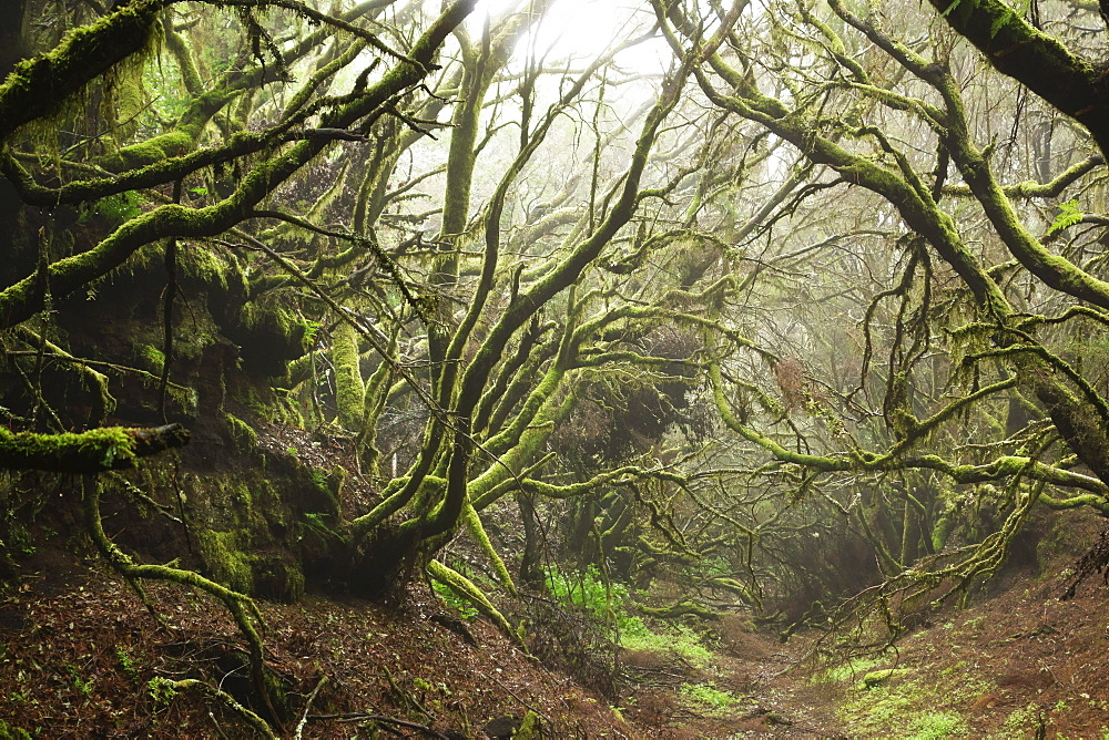 Laurel forest in fog, El Hierro, Canary Islands, Spain, Europe - 756-2811