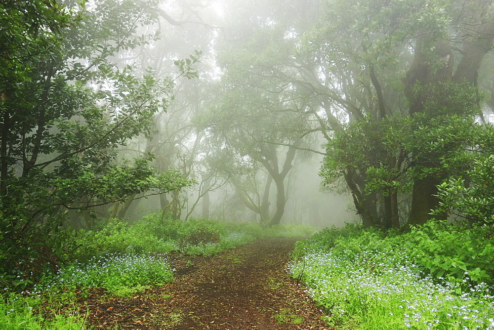 Laurel forest in fog, El Hierro, Canary Islands, Spain, Europe - 756-2815