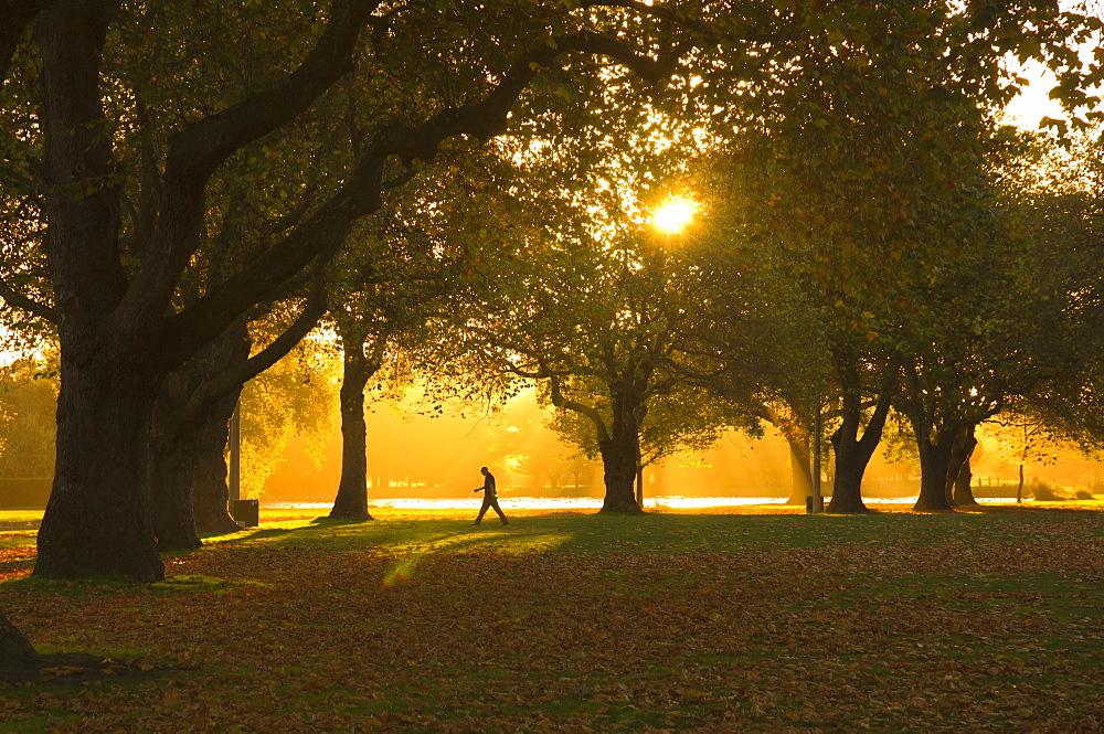 Man walking under trees, Hagley Park, Christchurch, Canterbury, South Island, New Zealand, Pacific