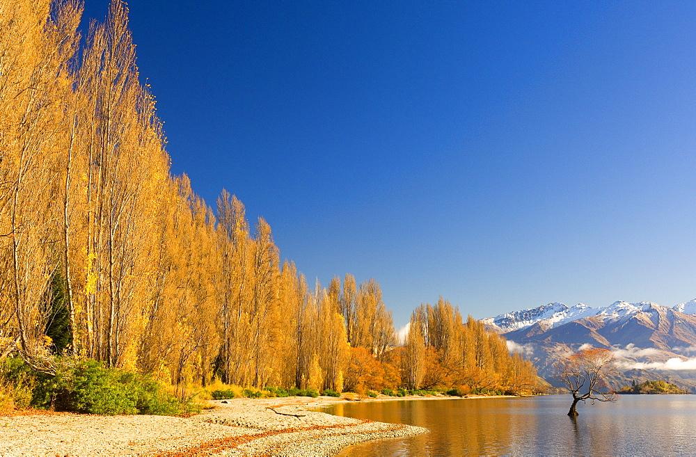 Poplar trees at Lake Wanaka, Wanaka, Central Otago, South Island, New Zealand, Pacific