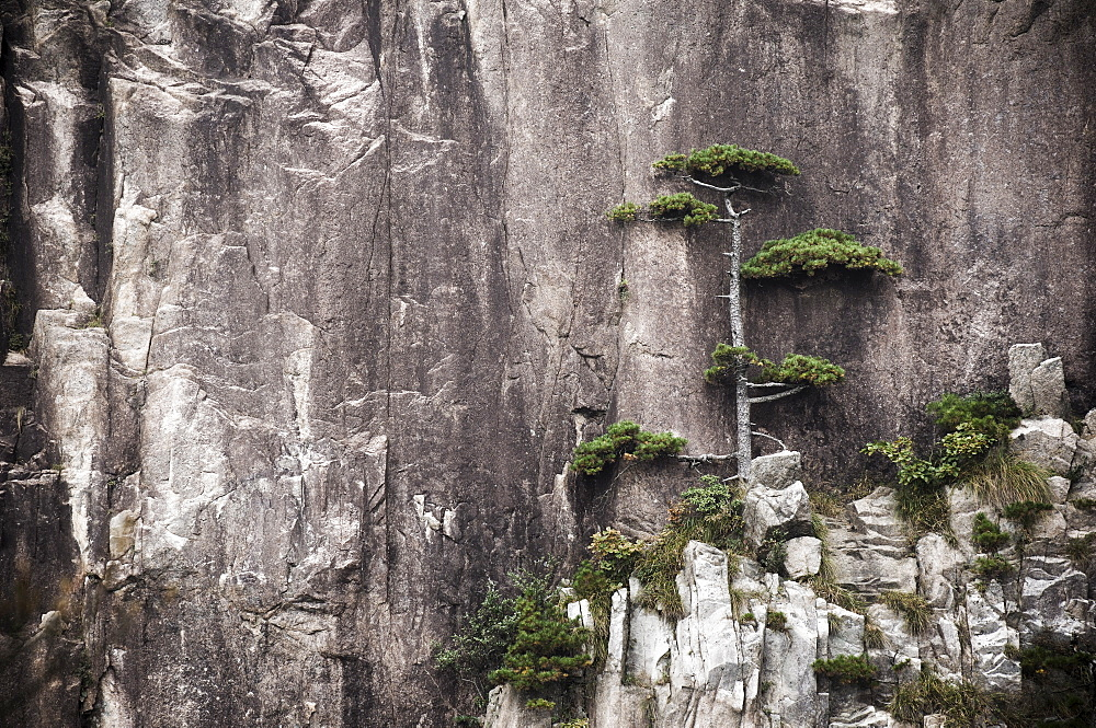 Pine tree, White Cloud Scenic Area, Mount Huangshan (Yellow Mountain), UNESCO World Heritage Site, Anhui Province, China, Asia