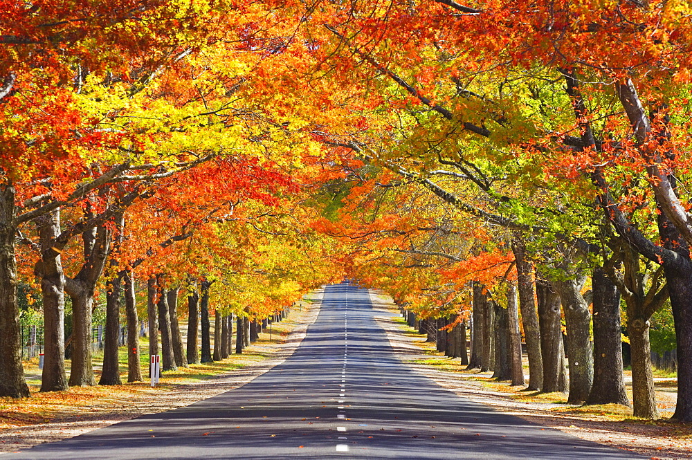 Memorial Avenue in autumn, Mount Macedon, Victoria, Australia, Pacific - 756-931