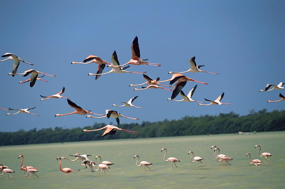 Flamingos, Celestun National Wildlife Refuge, Yucatan, Mexico, North America