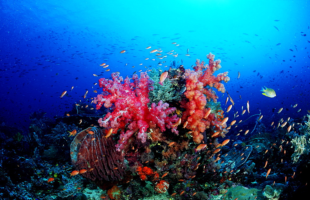 Coral reef, Indonesia, Indian Ocean, Komodo National Park