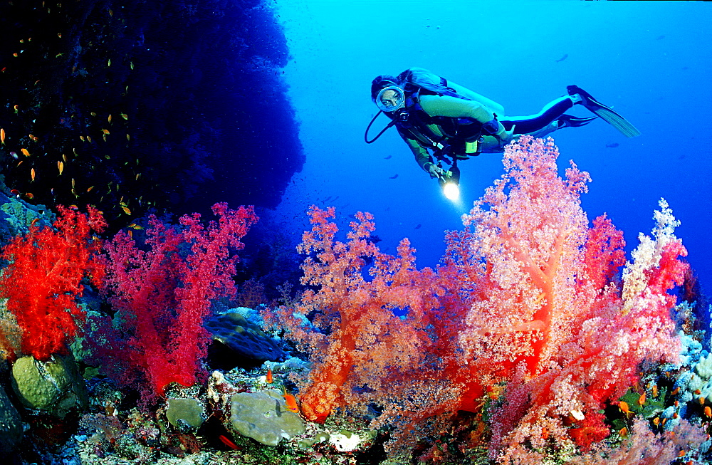 Scuba diver and soft corals, Egypt, Red Sea, Brother Islands