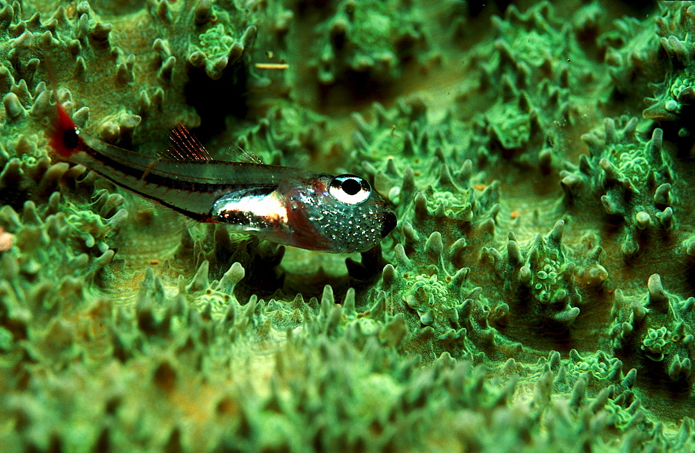 Red spotted cardinalfish with eggs in mouth, Apogon parvulus, Papua New Guinea, Pacific ocean