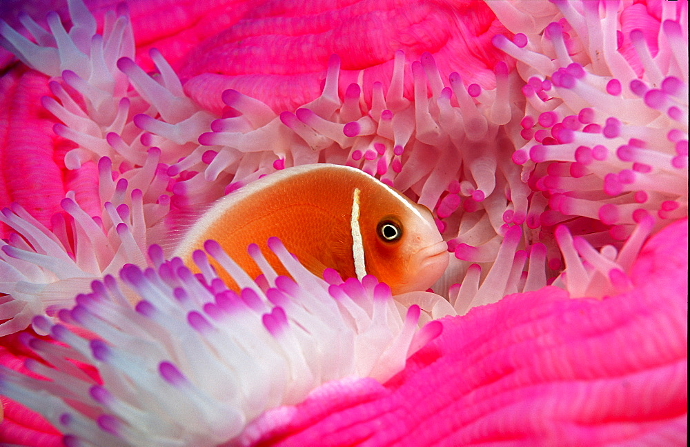 Pink anemonefish, Amphiprion perideraion, Australia, Pacific Ocean, Coral Sea - 759-1327