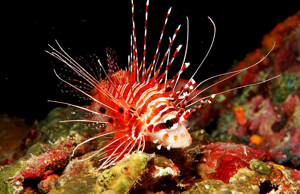 Spotfin lionfish, Pterois antennata, Philippines, Bohol Sea, Pacific Ocean, Panglao Island, Bohol
