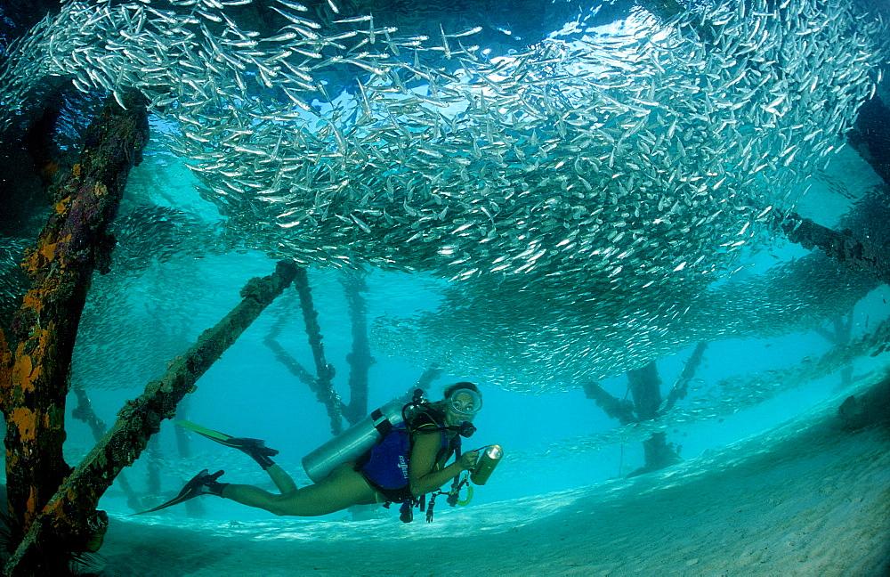 Pygmy sweeper and Scuba diver, Parapriacanthus ransonneti, Malaysia, Pazifik, Pacific ocean, Borneo, Lankayan