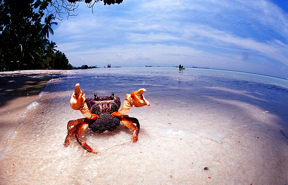 Sparring female crab with eggs, Gecarcinidae, Philippines, Bohol Sea, Pacific Ocean, Panglao Island, Bohol