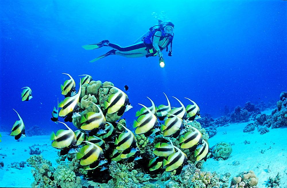 Red sea Bannerfish and scuba diver, Hiniochus intermedius, Egypt, Red Sea, Hurghada