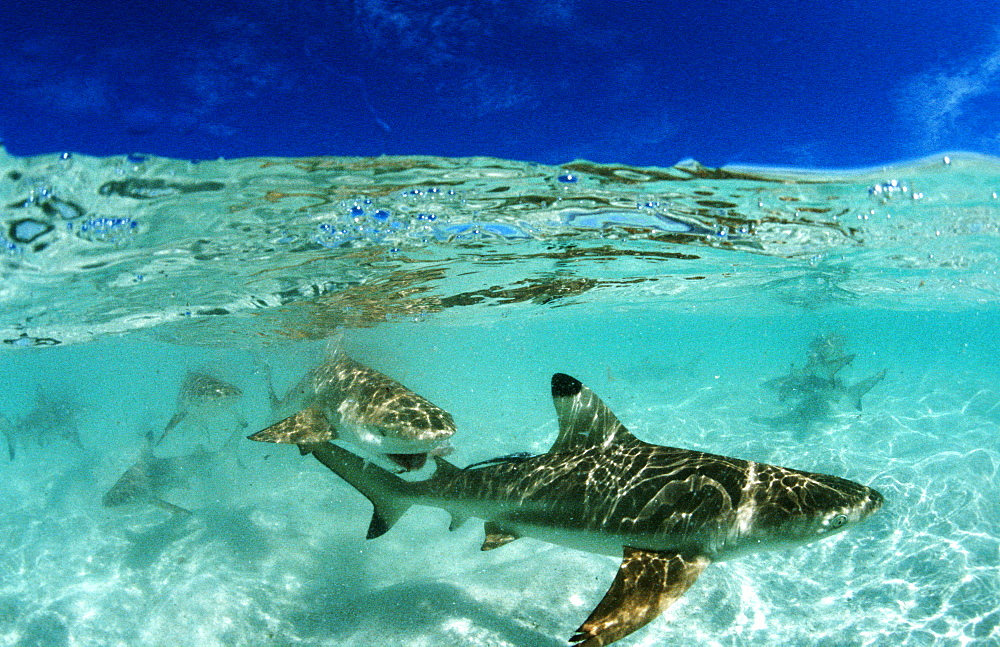 Blacktip reef shark, Carcharhinus melanopterus, Malaysia, Pazifik, Pacific ocean, Borneo, Lankayan