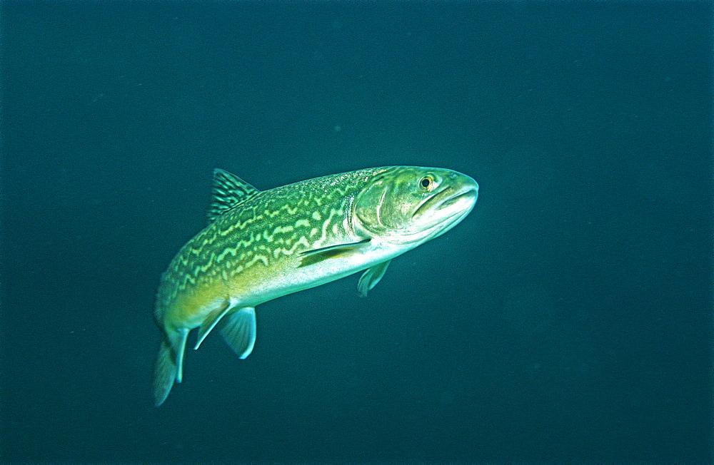Salmonidae, Tigerfish, Germany, Bavaria