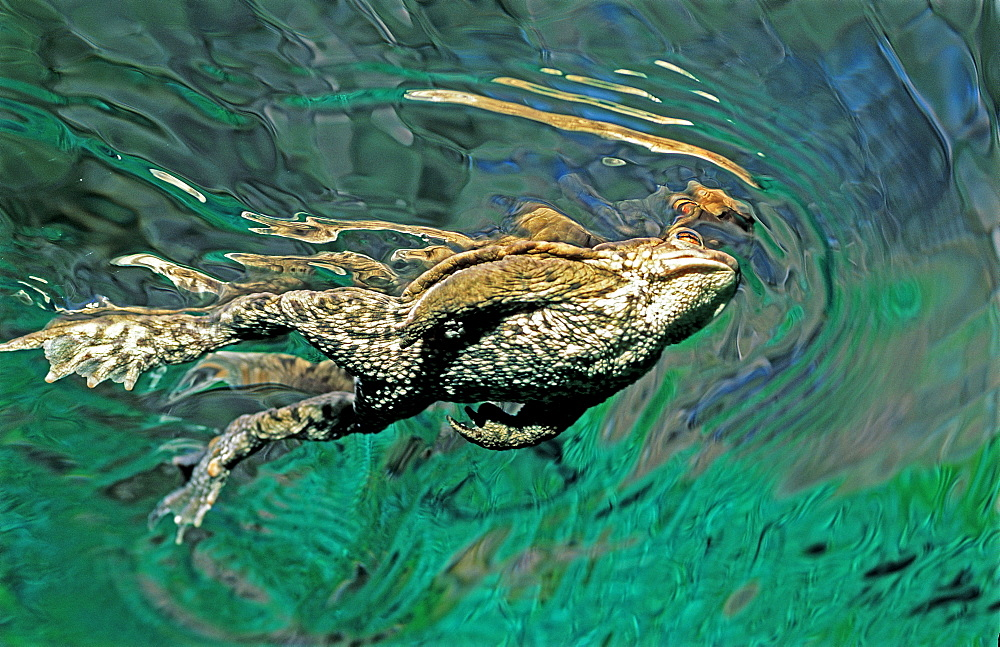 Toad swimming to water surface, Bufo bufo, Germany, Bavaria