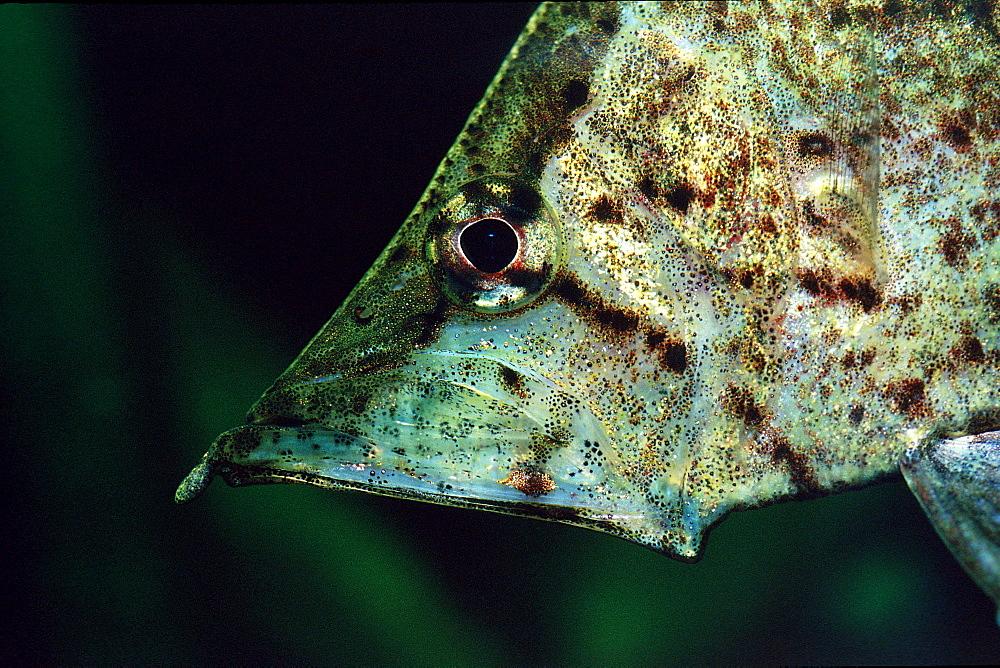 South american leaf fish, Monocirrhus polyacanthus, South america, Rio Negro, Orinoco, West Guyana, Amazon