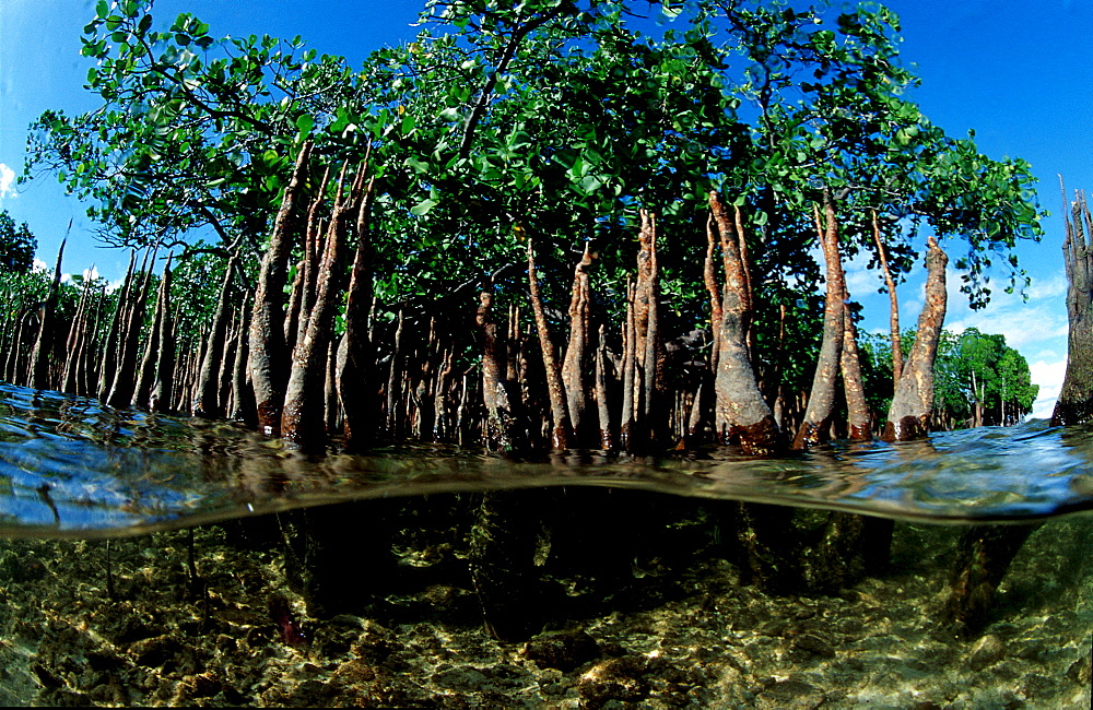 Mangroves, Mangrove trees, Papua New Guinea, Pacific ocean
