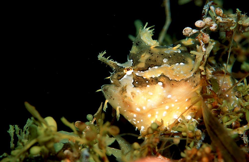 Sargassum frogfish, Histrio histrio, Papua New Guinea, Pacific ocean