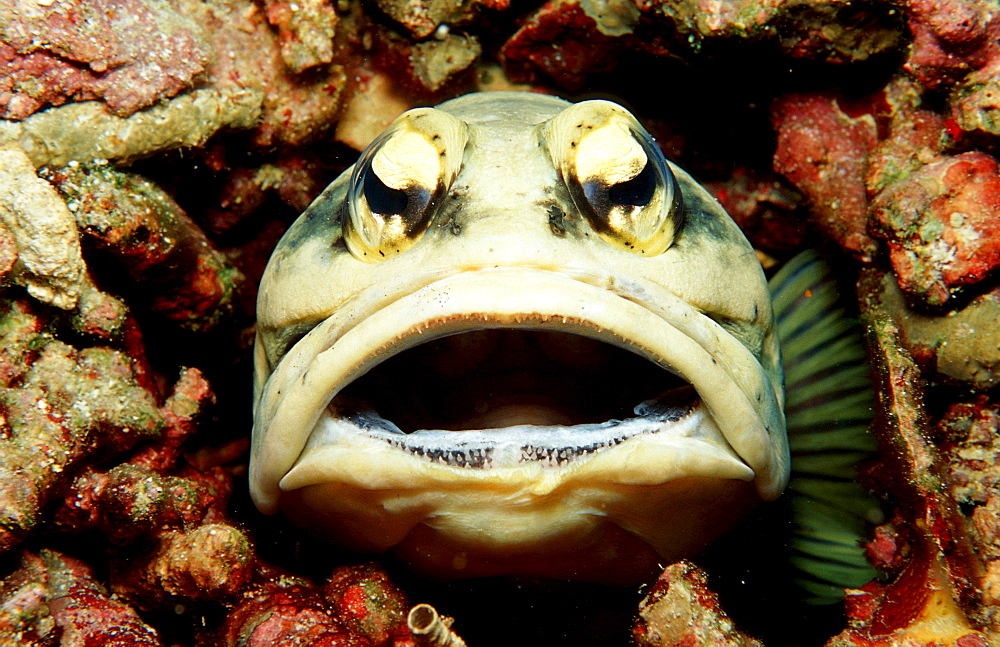 Jawfish, Opistognathus dendriticus, Malaysia, Pazifik, Pacific ocean, Borneo, Lankayan