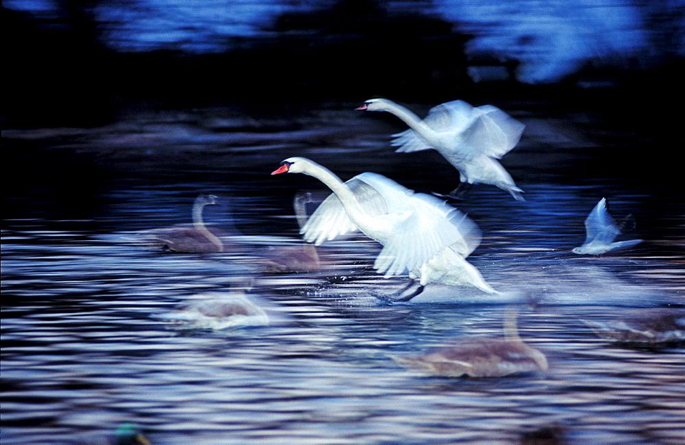 MUTE SWAN LANDING ON WATER, CYGNUS OLOR, Germany, Bavaria, Isar, Munich