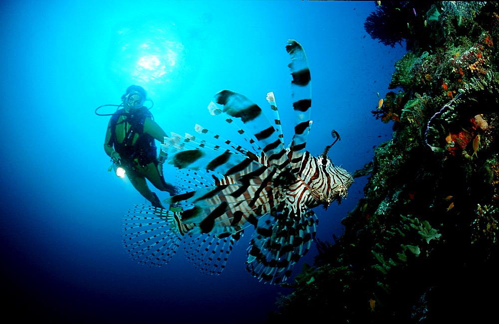 lionfish, turkeyfish and scuba diver, Pterois volitans, Australia, Pacific Ocean, Coral Sea