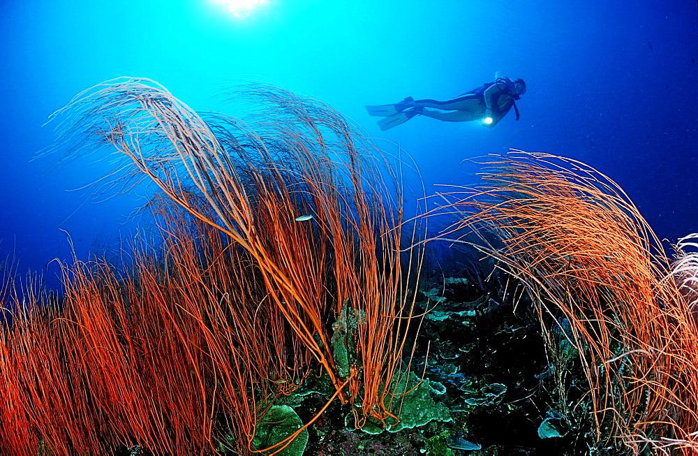 Red sea whip and scuba diver, Junceella rubra, Papua New Guinea, Pacific Ocean