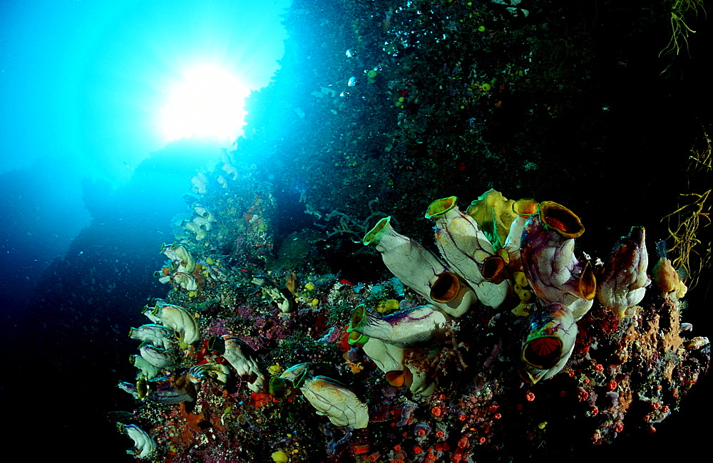 Coral reef with sea squirts, Ascidia, Papua New Guinea, Pacific ocean